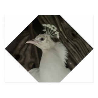 白子の孔雀の頭部 ポストカード
