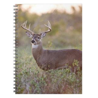 白後につかれたシカ(Odocoileusのvirginianus)の男性2 ノートブック