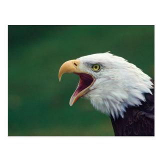白頭鷲(Haliaeetusのleucocephalus) ポストカード