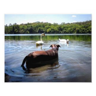 白鳥とのチョコレート実験室ピットの組合せ犬の水泳 フォトプリント