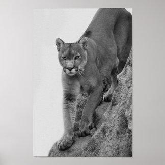 白黒のオオヤマネコ ポスター
