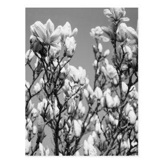 白黒エレガントなマグノリアの木 ポストカード