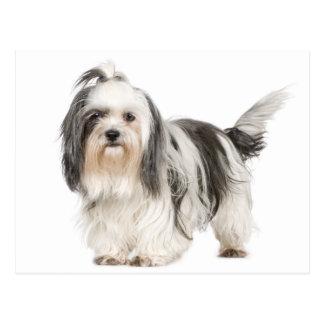 白黒シーズー(犬)のTzuの小犬 ポストカード