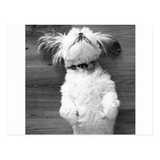 白黒シーズー(犬)Tzuの子犬 ポストカード