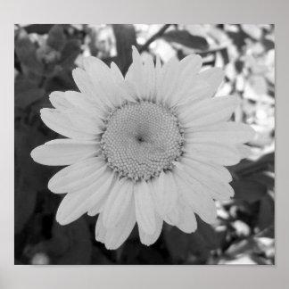 白黒デイジーの写真 ポスター