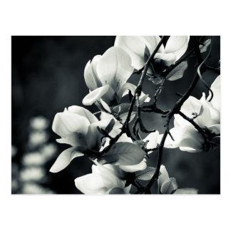白黒マグノリア ポストカード