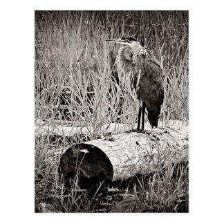 白黒青い鷲の写真- ポストカード