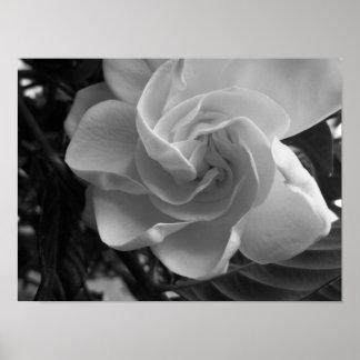 白黒Gardeniaの写真 ポスター