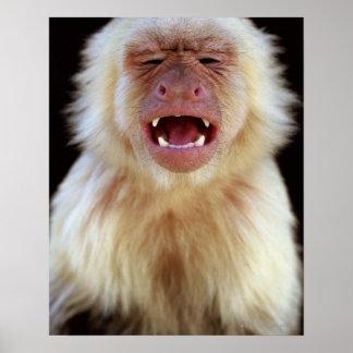 白throated capuchin (Cebusのcapucinus)との ポスター
