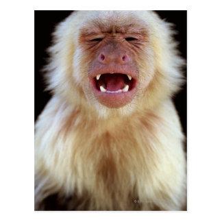 白throated capuchin (Cebusのcapucinus)との ポストカード