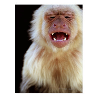 白throated capuchin (Cebusのcapucinus) ポストカード