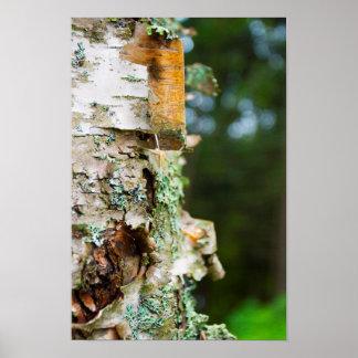 皮の樺の木、メイン ポスター