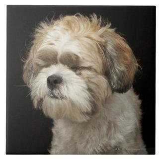 目とのブラウンおよび白いシーズー(犬) Tzuは閉まりました タイル