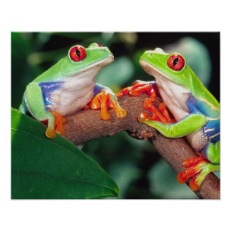 目のTreefrogの赤い組、Agalychinisのcallidryas、 ポスター