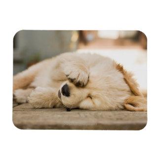 目を摩擦している10 1週間目の子犬 マグネット