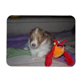 睡眠の荒いコリーの子犬 マグネット