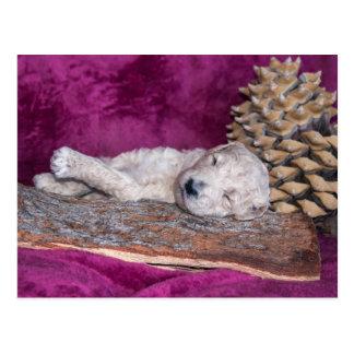 睡眠標準プードルの子犬 ポストカード