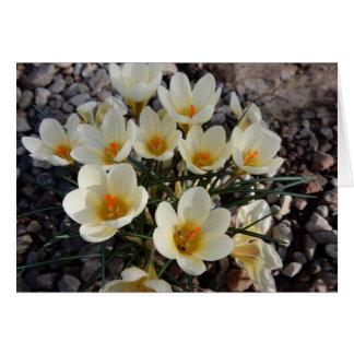 石庭の黄色および白い春のクロッカス カード