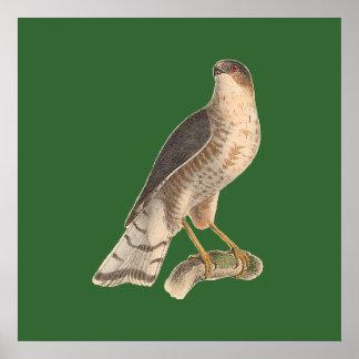 石板色のタカ(Asturのfuscus) ポスター