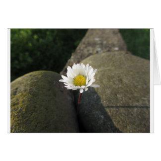 石間の独身のな白いデイジーの花 カード