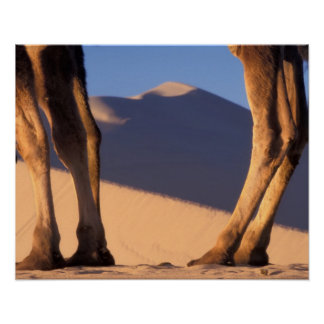 砂丘、トンホワン、カンスーが付いているラクダの足 ポスター
