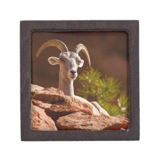 砂漠のオオツノヒツジ(Ovisのcanadensisのnelsoni)。 ギフトボックス