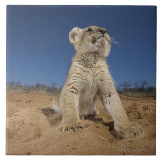 砂、ナミビアに坐るライオンの子(ヒョウ属レオ) タイル