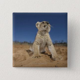 砂、ナミビアに坐るライオンの子(ヒョウ属レオ) 5.1CM 正方形バッジ