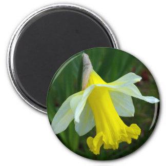 磁石-黄色いラッパスイセン マグネット