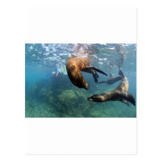 礁湖のガラパゴス諸島で遊んでいるアシカ ポストカード