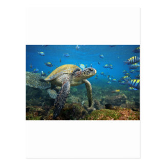 礁湖のガラパゴス諸島のウミガメの水泳 ポストカード