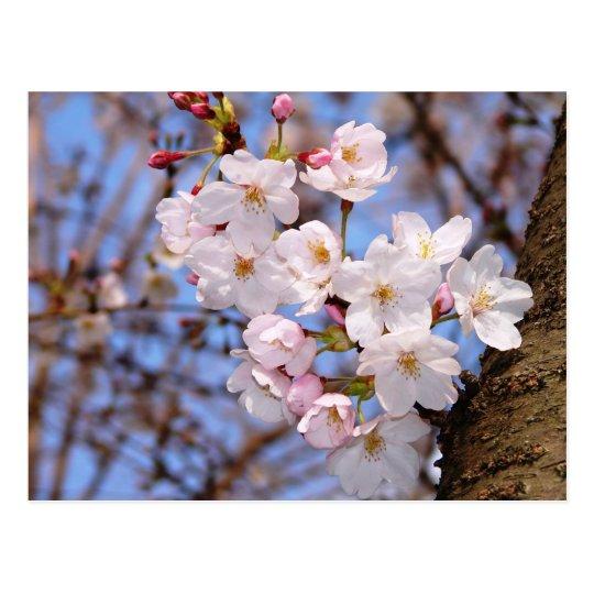 神戸にある桜開花の作品 ポストカード