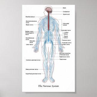 神経系 ポスター