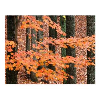 秋のかえで ポストカード