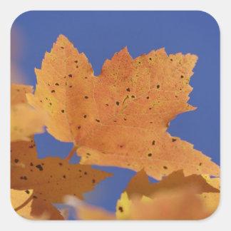 秋のカエデの葉および白い青空 スクエアシール