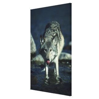 秋の飲むことのオオカミ キャンバスプリント
