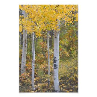 秋の《植物》アスペンの写真の印画 フォトプリント