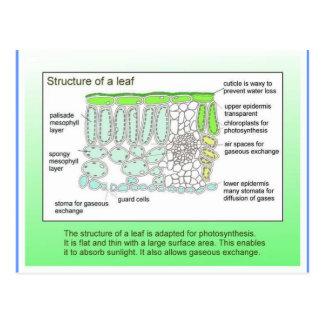 科学、植物、葉の構造 ポストカード