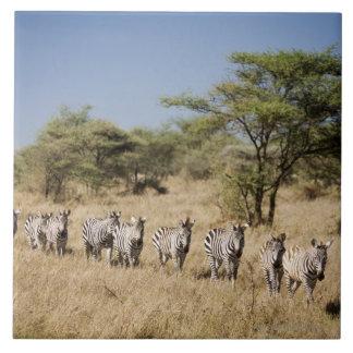 移住のシマウマ、タンザニア 正方形タイル大