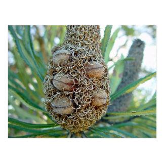 種のポッドが付いているバンクシアの円錐形 ポストカード