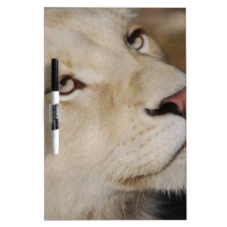 穏やかなライオン ホワイトボード