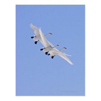 空で飛んでいる大白鳥 ポストカード