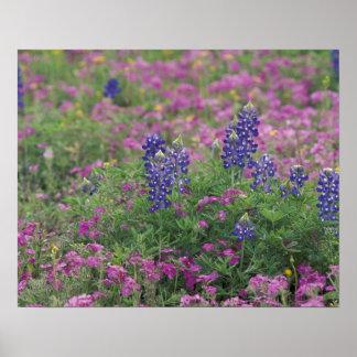米国のテキサス州の丘の国。 フロックス属の中のBluebonnets ポスター