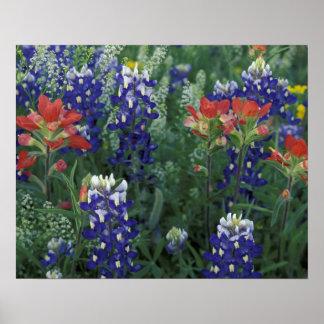 米国のテキサス州の丘の国。 Bluebonnets ポスター