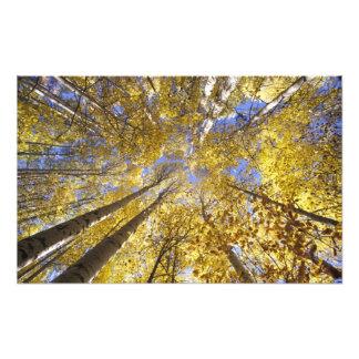 米国の太平洋の北西。 秋の《植物》アスペンの木 フォトプリント