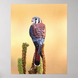 米国へのKestrel、Falcoのsparverius、先住民及びカナダ ポスター