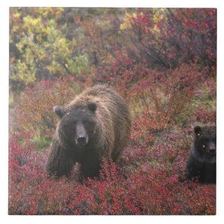 米国、アラスカのDenaliの国立公園。 灰色グマ タイル