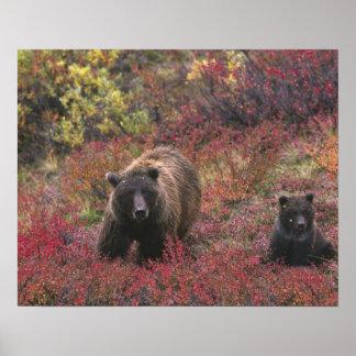 米国、アラスカのDenaliの国立公園。 灰色グマ ポスター
