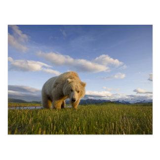 米国、アラスカのKatmaiの国立公園、ヒグマ3 ポストカード