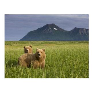 米国、アラスカのKatmaiの国立公園、ヒグマ ポストカード
